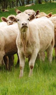 prod-bovine2